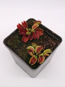 """Dionaea muscipula """"Lep giant"""""""