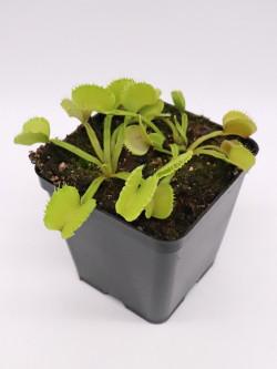 """Dionaea muscipula """"GJ Basmati"""""""