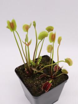 "Dionaea muscipula ""Sonic"""