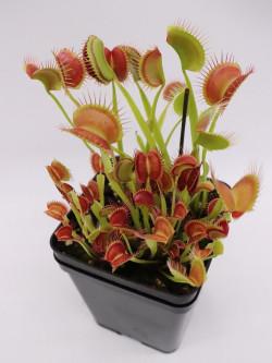 "Dionaea muscipula ""Melly's lipstick"""