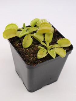 Dionaea muscipula 'Triton'