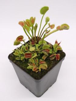 "Dionaea muscipula ""Cactus"""