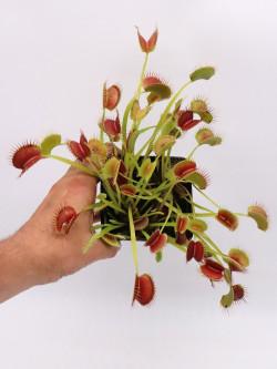 "Dionaea muscipula ""Towering giant"""