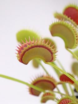 """Dionaea muscipula """"Fake dracula"""""""