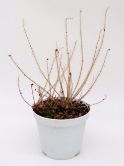 Drosera filiformis red