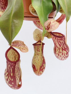 "Nepenthes ""Gaya"""