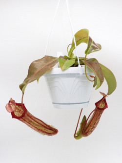 "Nepenthes x "" Miranda """