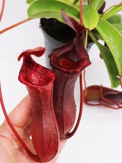 "Nepenthes x ""Briggsiana""  Lowii x ventricosa"