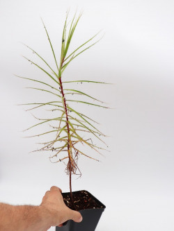 Roridula gorgonias 10-12 CM WITHOUT Pameridea roridulae