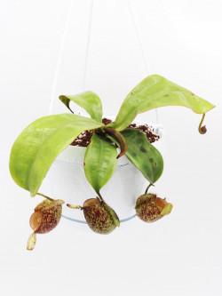 Nepenthes ampullaria speckled (Tayeve , Irian Jaya)
