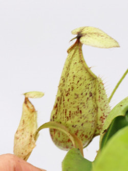 Nepenthes rafflesiana x hirsuta