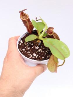 Nepenthes rajah x eymae