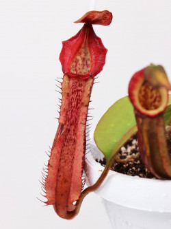 Nepenthes veitchii x boschiana