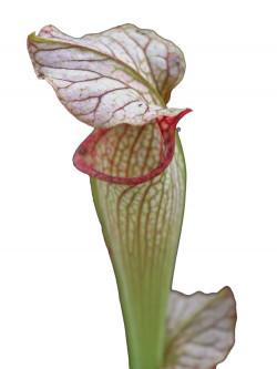S.x Areolata  C.Klein (Righetti)