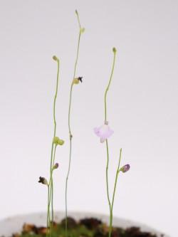 Utricularia lateriflora
