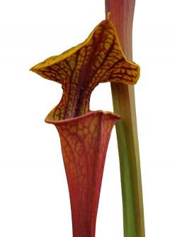 """Sarracenia flava var. rubricorpora F25c MK """"claret"""" x """"claret"""""""