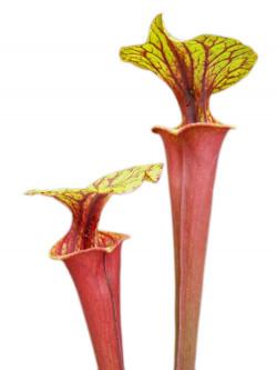 Sarracenia flava var. rubricorpora F190 MK