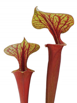 Sarracenia flava var. rubricorpora , purple/marroon tube F126 MK