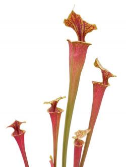 Sarracenia flava var. rubricorpora PJ plants