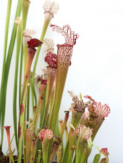 "S.x Leucophylla hybrid ""Long lid"""