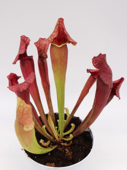"S.x ""purpurea hybrid red"""