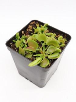 """Dionaea muscipula """"GJ Bloody nurse"""""""
