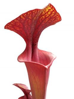 Sarracenia flava var. rubricorpora FL85 RVL