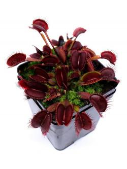 Dionaea muscipula 'Akai ryu'