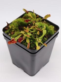 Dionaea muscipula 'Fondue'