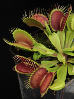 "Dionaea muscipula ""Rouge sombre"""