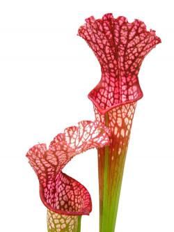 """Sarracenia leucophylla """"Hot pink"""" , Splinter"""