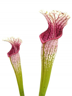 Sarracenia leucophylla L14 MK Yellow flowered form, Red/white,Russell Rd, Citronelle,...