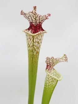 "Sarracenia leucophylla SL61 AC ""Red stripe throat"""