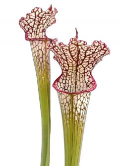 Sarracenia leucophylla L7 MK Pubescent form,Perdido, AL.,W