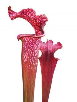 Sarracenia leucophylla L57 MK 'Burgundy' Red & White
