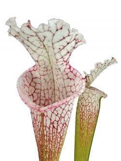 Sarracenia leucophylla , Walton Co.