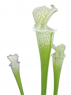 Sarracenia leucophylla L109 AA