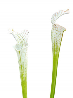 "Sarracenia leucophylla L09 MK ""Alba"""