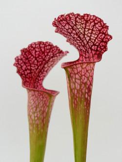 "Sarracenia leucophylla ""BonBon"""