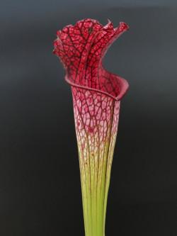 "Sarracenia leucophylla  "" pink tube ""  L53 MK"