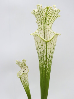 Sarracenia leucophylla L69 MK Yellow flowered form, Citronelle, AL.W
