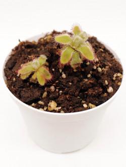 Drosera hylaris hybrid