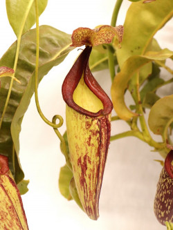 Nepenthes maxima BE-3067