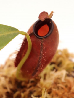 Nepenthes ampullaria x aristolochioides BE-3758