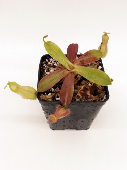 Nepenthes ampullaria x hamata BE-3948