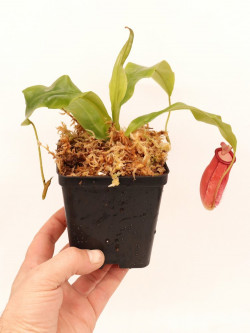 Nepenthes ampullaria x mira BE-3783