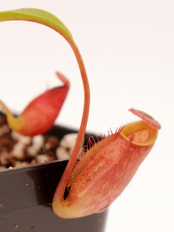 Nepenthes aristolochioides x hamata BE-3898