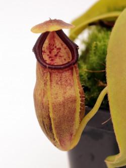 Nepenthes bongso hybrid