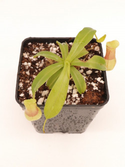 Nepenthes burkei BE-3254