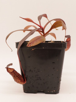 Nepenthes ceciliae BE-3956